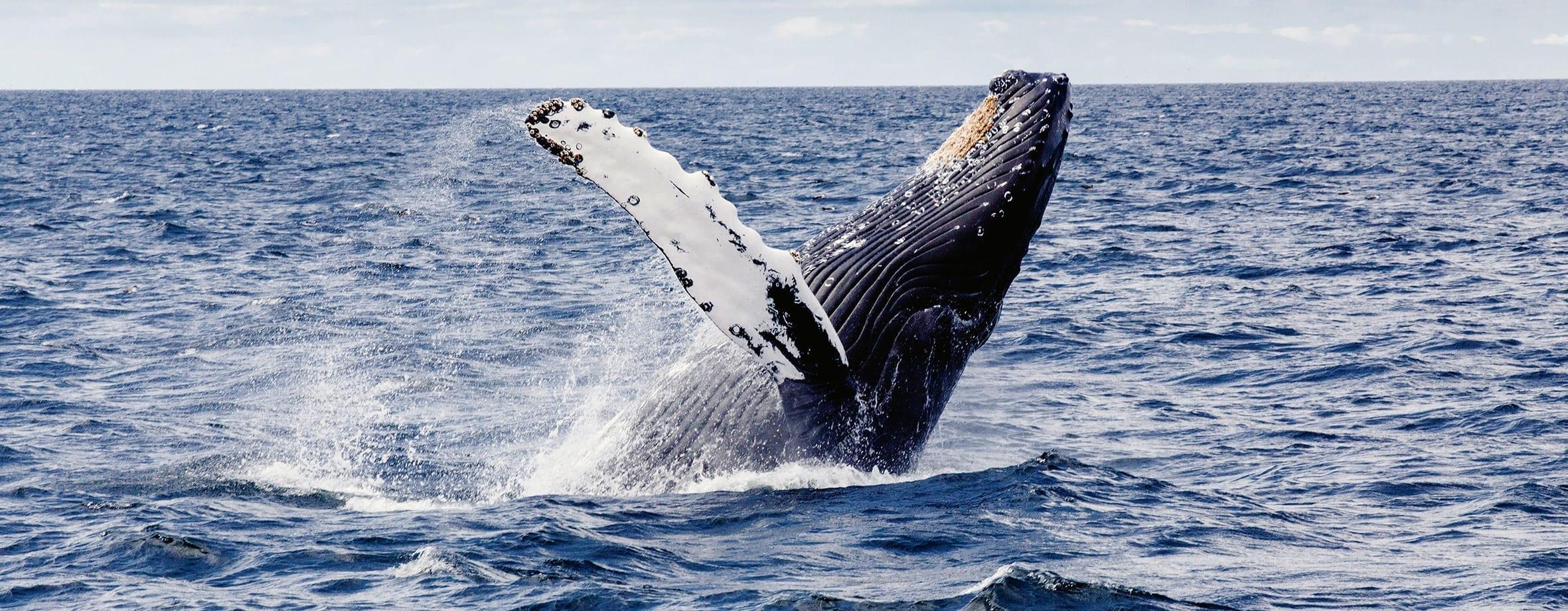 Humpback whale, T. Kelley