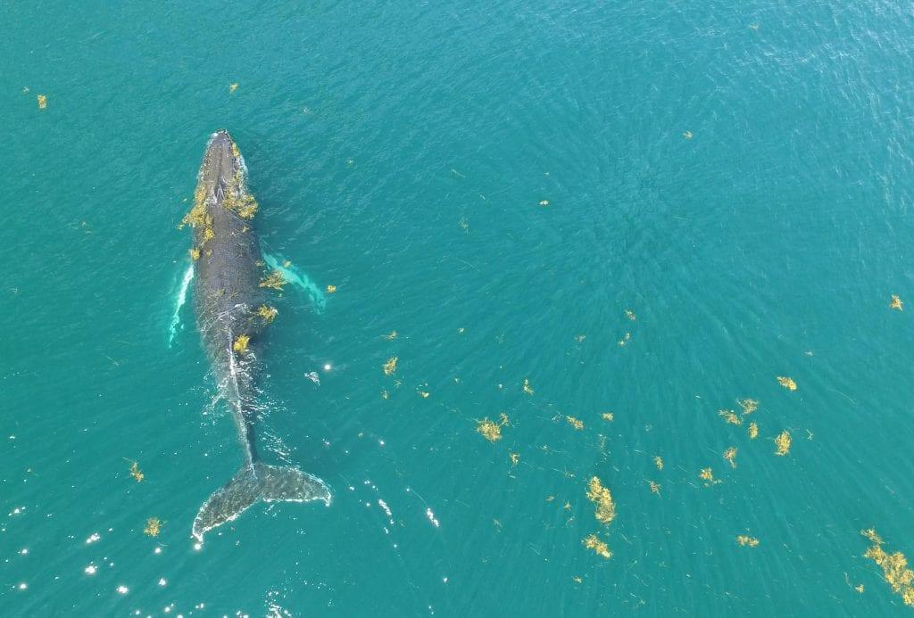 Humpback whale, Sargasso Sea. Copyright A.Stevenson
