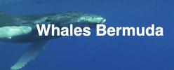 Whales Bermunda
